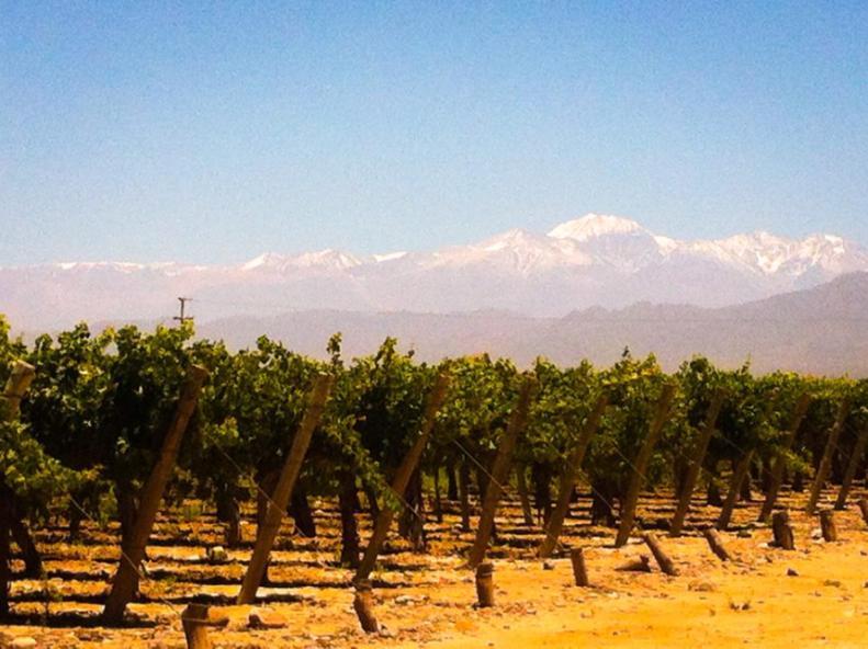 grape vines and mountains Mendoza, Argentina